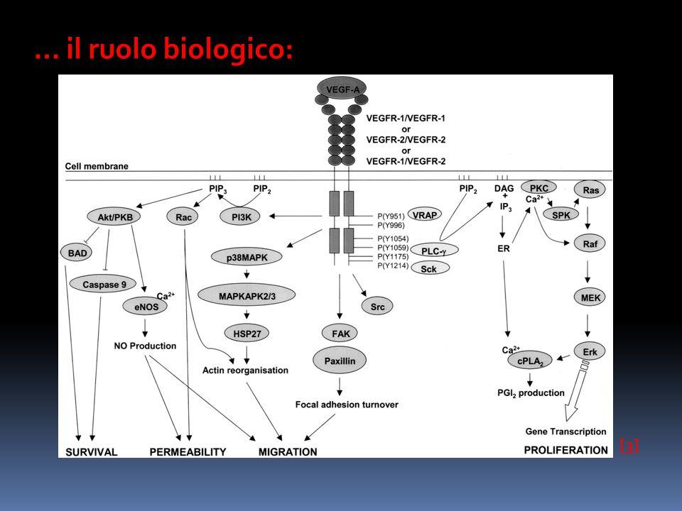 … il ruolo biologico: [3]